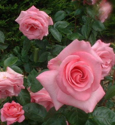 La rose de Rennes, Jardins de Brocéliande
