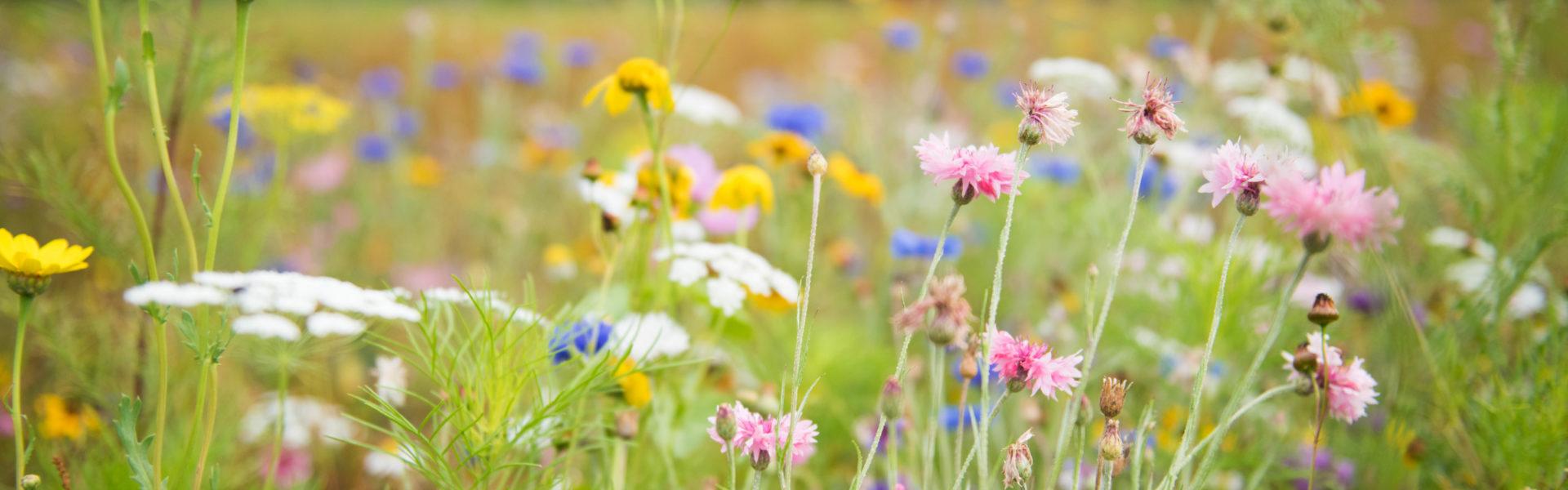 Prairie fleurie jardins de brocéliande