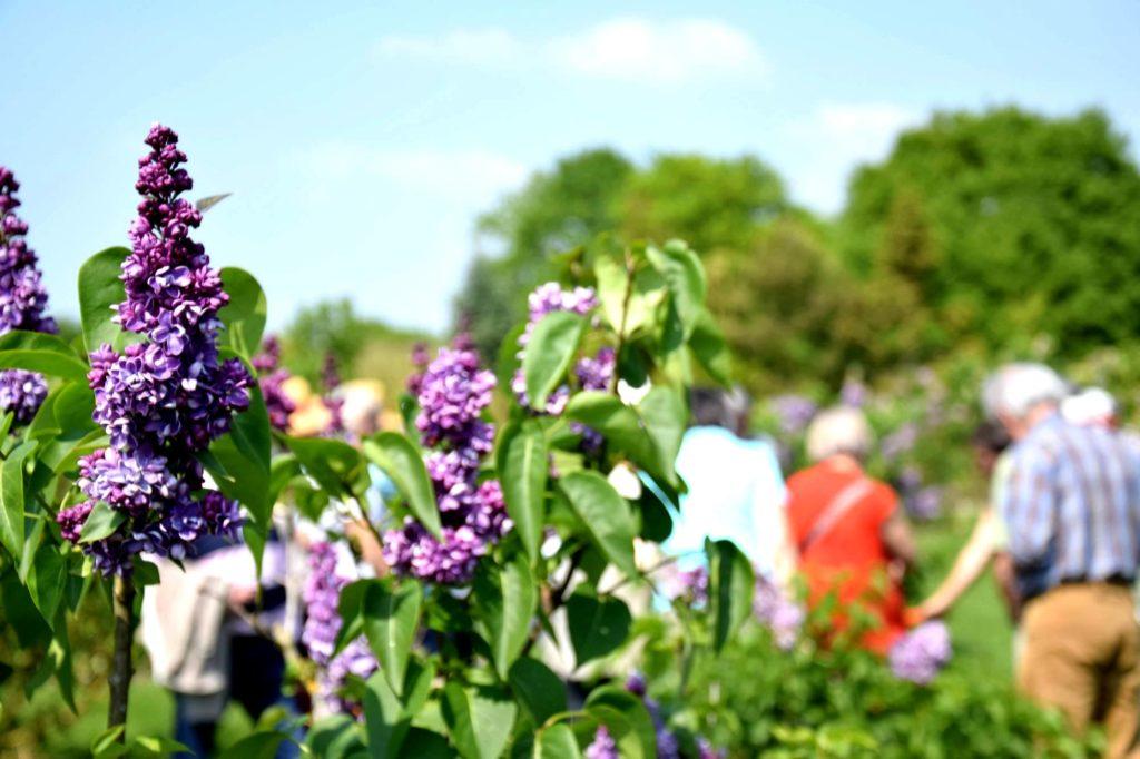 Lilas jardins de brocéliande