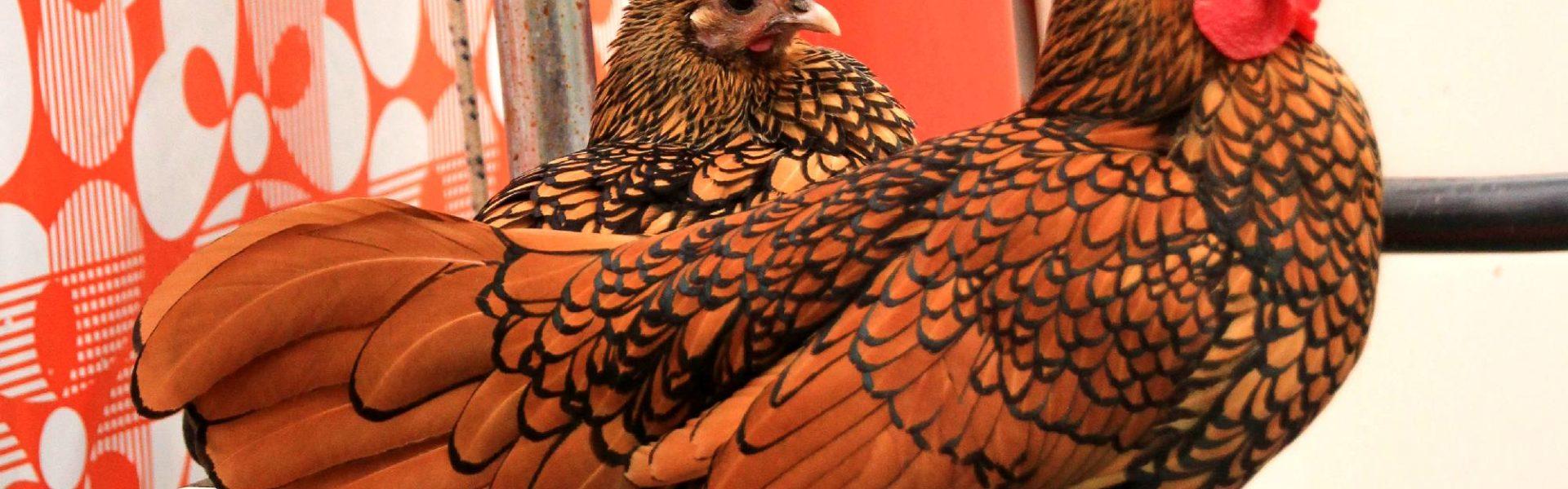 Poules sebright