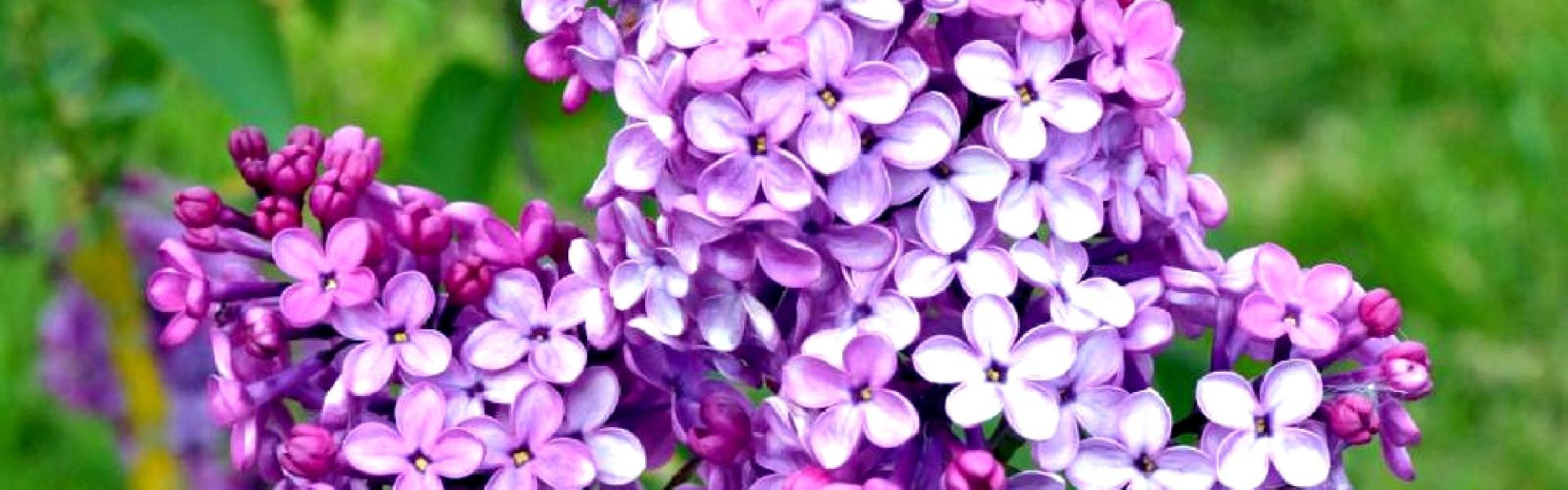 Lilas mauve Jardins de Broéliande. Photo Thomas Crabot