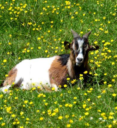 chèvre naine jardins de brocéliande