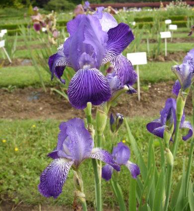 Iris Othello