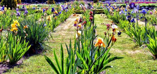 Collection iris Jardins de Brocéliande
