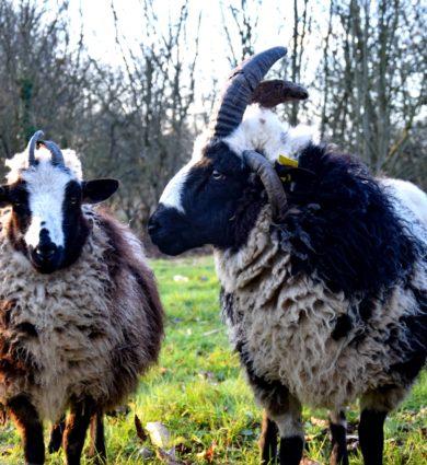 moutons de jacob