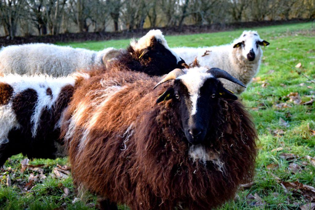 moutons jardins de Brocéliande