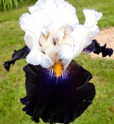 Iris domino