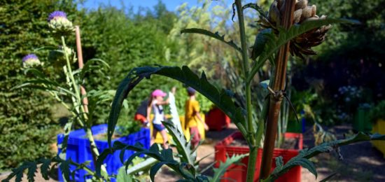 Jardin du curé artichauts
