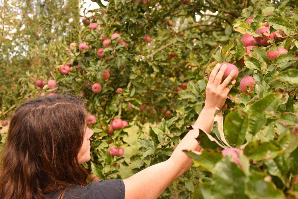 cueillette pommes jardins de Brocéliande