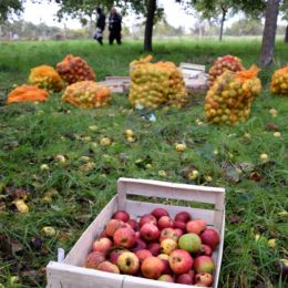 cueillette pommes jardins