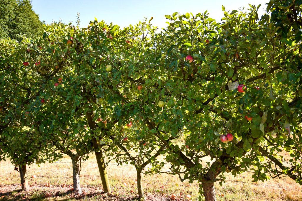 pommes jardins de brocéliande
