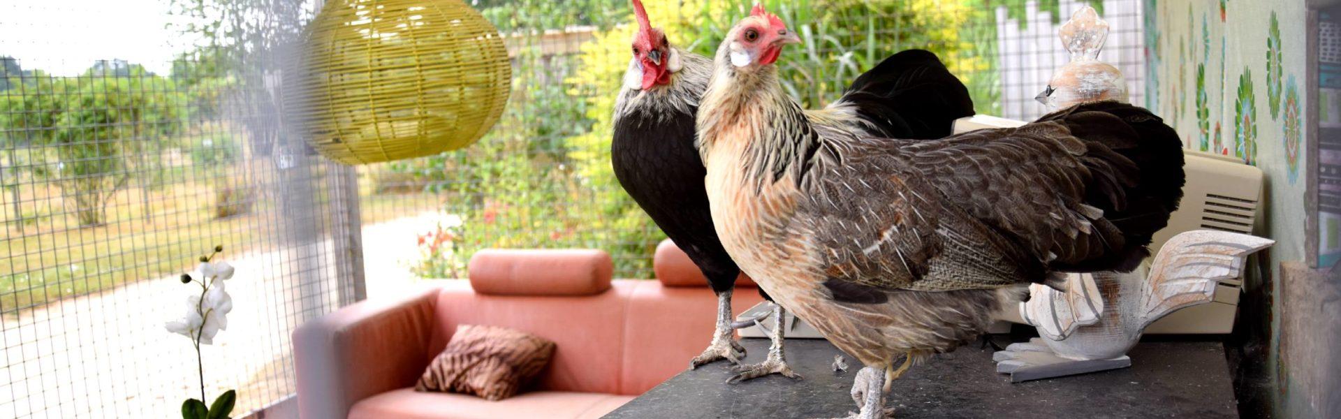 poule phoenix jardins brocéliande
